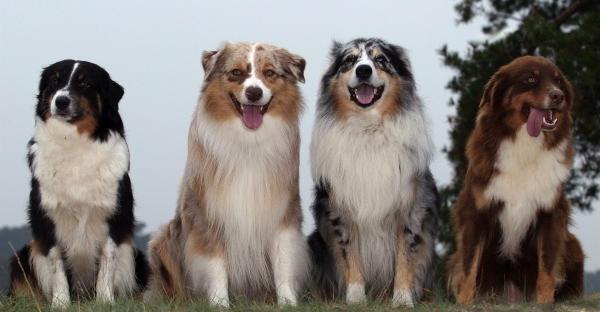 berger australien, vétérinaire Isneauville