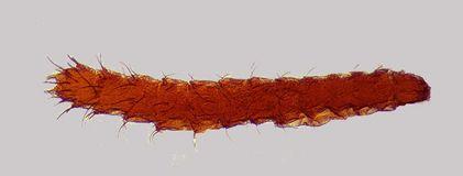 larve de puce - ROUEN METROPOLE