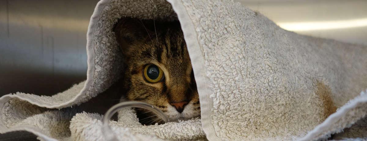 chat hospitalisé, vétérinaire rouen mont saint aignan